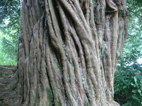 Yew Tree Trunk