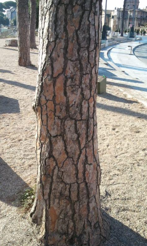 bark umbrella pine
